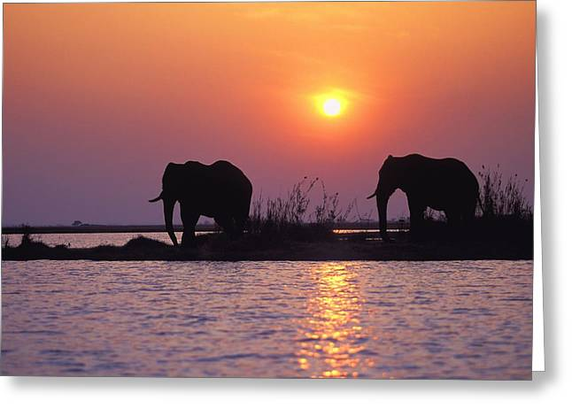 Elephant Silhouettes Greeting Card by John Pitcher