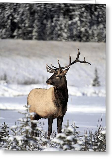 Elk Cervus Canadensis Bull Elk During Greeting Card by Richard Wear