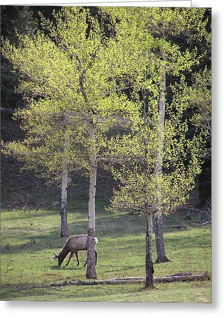 Elk Grazing In Early Spring Greeting Card
