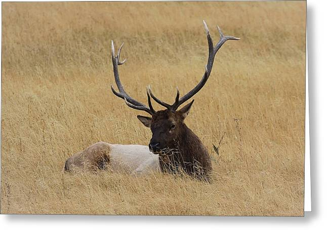 Elk In The Meadow Greeting Card by Steve McKinzie