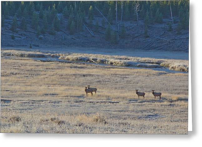 Elk In The Morning Greeting Card by Twenty Two North Photography
