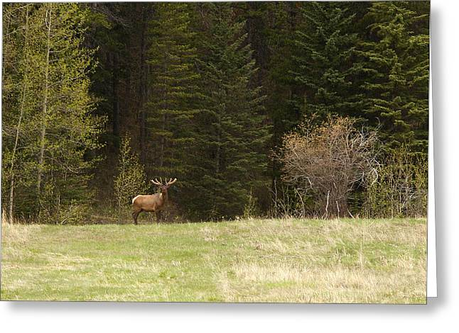 Elk Greeting Card by Larry Roberson