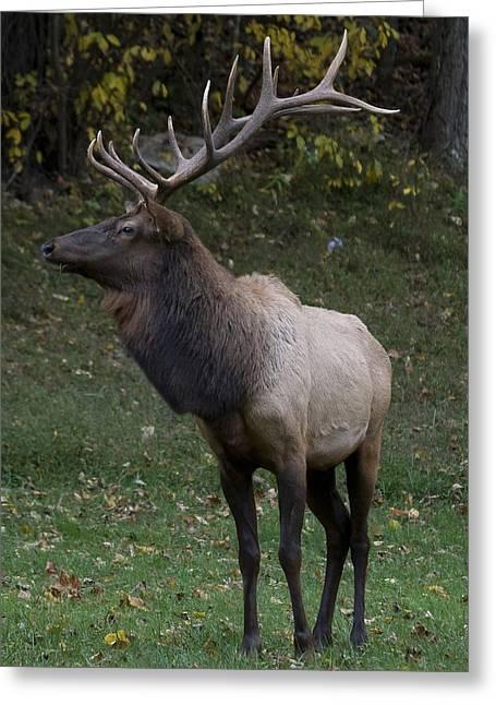 Elk Pride Greeting Card