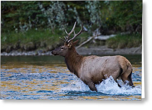 Elk Through Water Greeting Card by Maik Tondeur