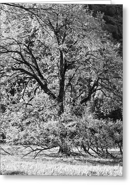 Elm In Black And White Greeting Card by Rick Berk