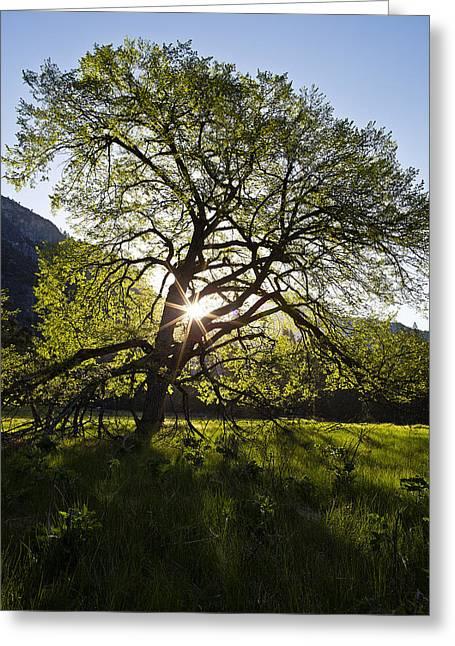 Elm In Cook's Meadow Greeting Card by Rick Berk