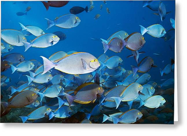 Elongate Surgeonfish Greeting Card