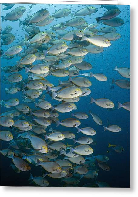 Elongate Surgeonfish School Greeting Card