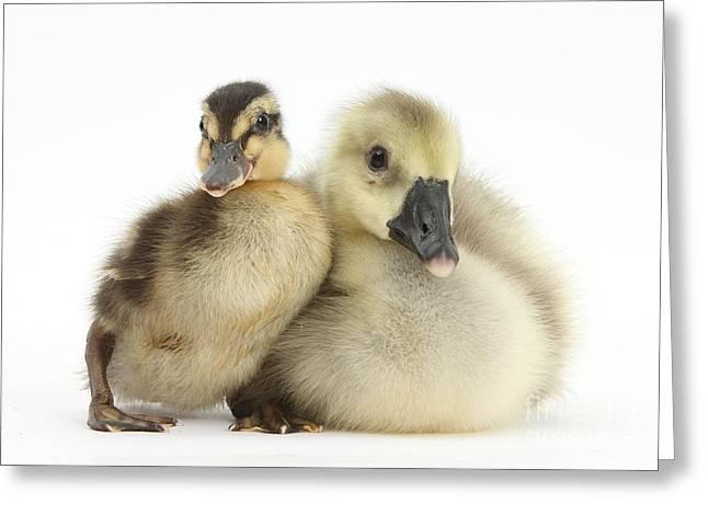 Embden X Greylag Gosling And Mallard Greeting Card