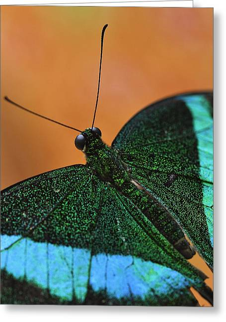 Emerald Swallowtail Greeting Card