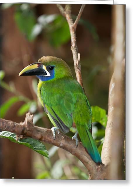Emerald Toucanet At La Paz Waterfall Gardens Greeting Card