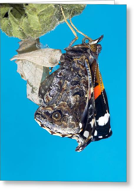 Emerging Red Admiral Butterfly Greeting Card by Dr Keith Wheeler