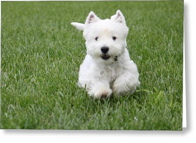Emma The Westie On The Run Greeting Card by Jon Zombek