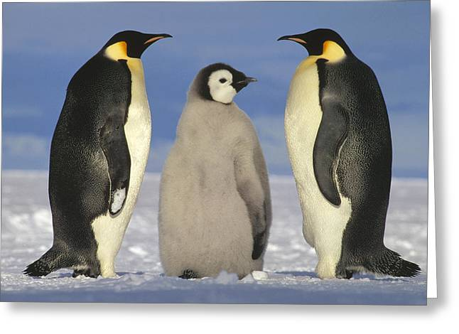 Emperor Penguin Aptenodytes Forsteri Greeting Card by Tui De Roy