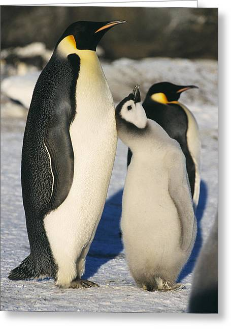 Emperor Penguins With Chick Greeting Card by Doug Allan