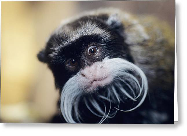 Emperor Tamarin Greeting Card by David Aubrey