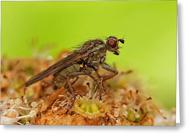 Empid Fly Greeting Card by Paul Scoullar