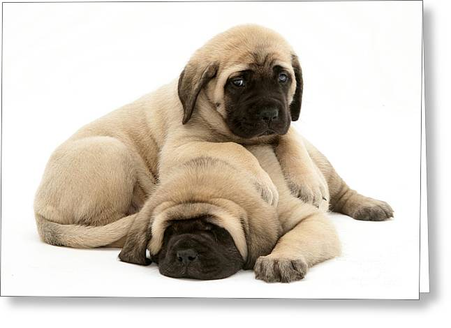 English Mastiff Puppies Greeting Card by Jane Burton