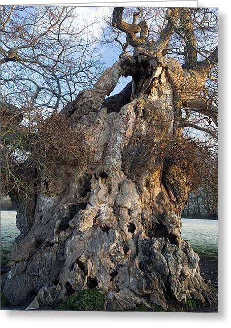 English Oak Tree (quercus Rober) At Dawn Greeting Card by Bob Gibbons