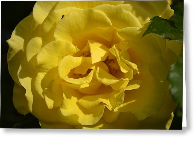 English Rose - Yellow Greeting Card by Dickon Thompson