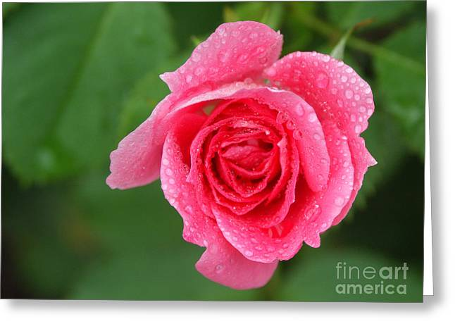 English Rose Greeting Card by Bonnie Sue Rauch and Photo Researchers
