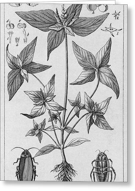 Engraving Of Jamaican Plant And Cockroach Greeting Card