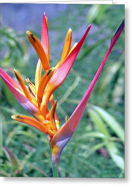 Enhanced Heliconia Greeting Card by Karen Nicholson