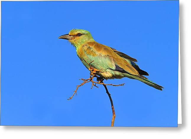 Eurasian Roller Greeting Card by Tony Beck