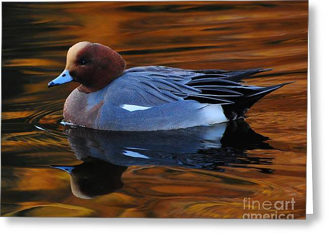 Eurasian Wigeon Greeting Card