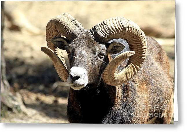 European Big Horn - Mouflon Ram Greeting Card by Teresa Zieba