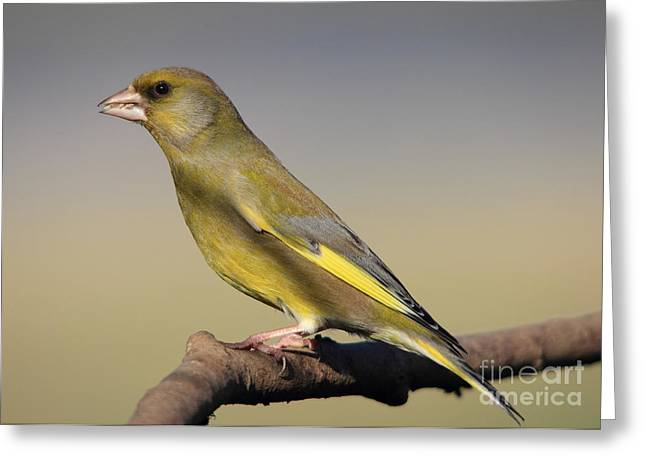 European Greenfinch Greeting Card