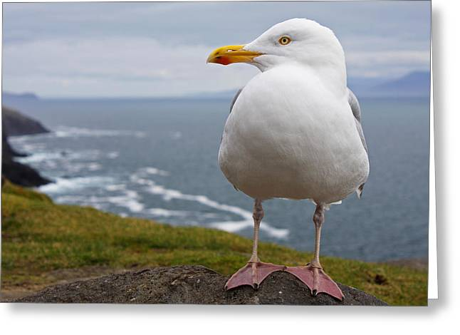 European Herring Gull Larus Argentatus Greeting Card by Trish Punch