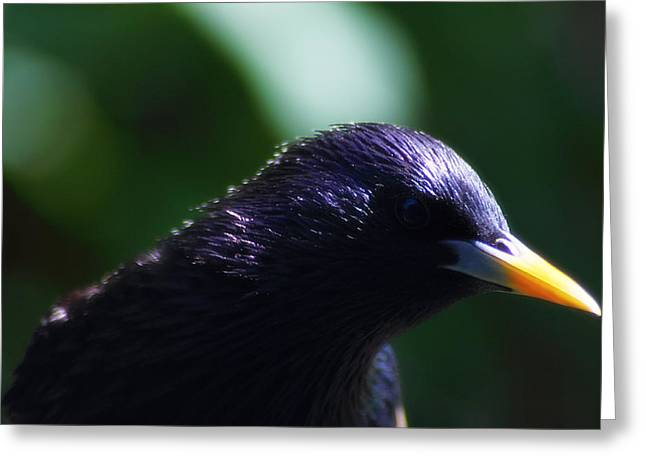European Starling Greeting Card by Scott Hovind