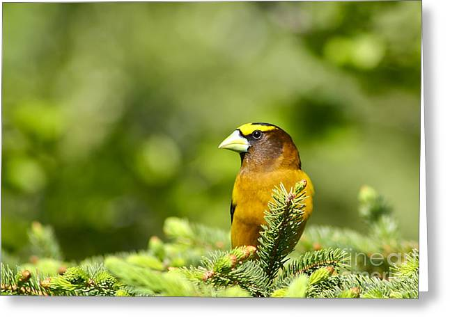 Evening Grosbeak Greeting Card by Teresa Zieba