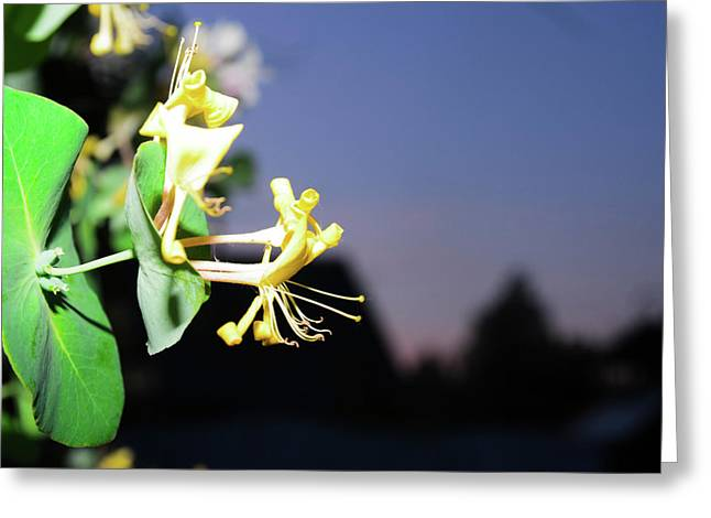Evening Sonata. Perfoliata Greeting Card