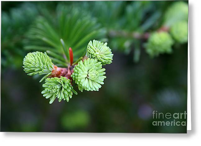 Greeting Card featuring the photograph Evergreen by Adrian LaRoque
