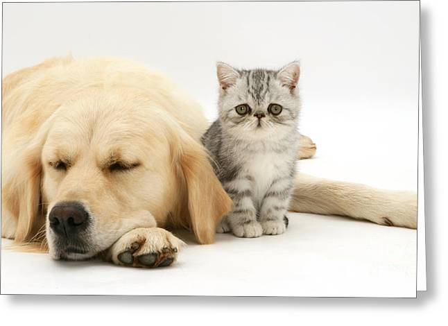 Exotic Kitten And Golden Retriever Greeting Card by Jane Burton