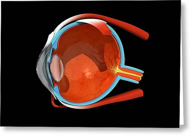 Eye Anatomy Greeting Card by Jose Antonio PeÑas