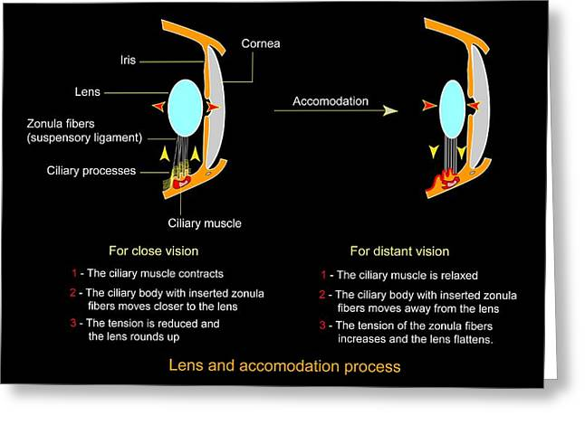 Eye Lens And Accommodation, Diagram Greeting Card by Francis Leroy, Biocosmos