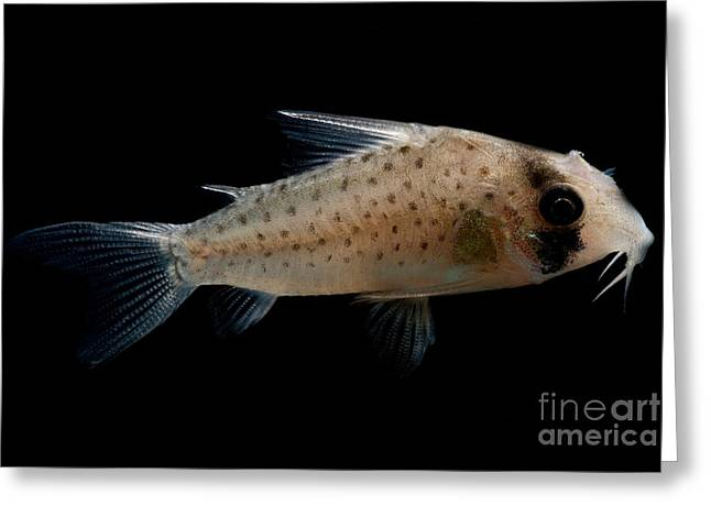 Fairy Corydoras Greeting Card by Dant� Fenolio