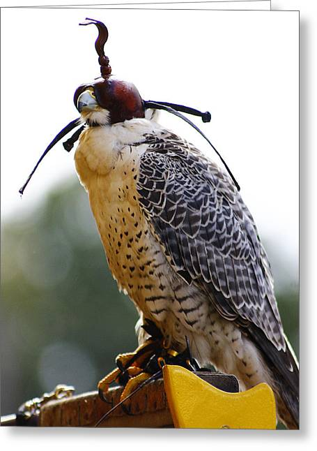 Falconry 3 Greeting Card