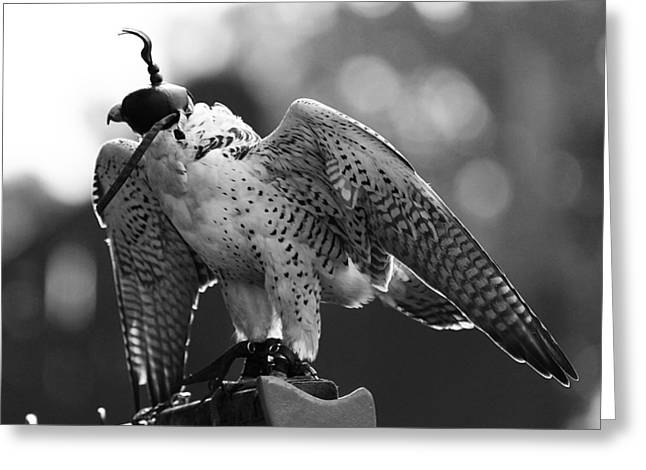 Falconry 4 Greeting Card