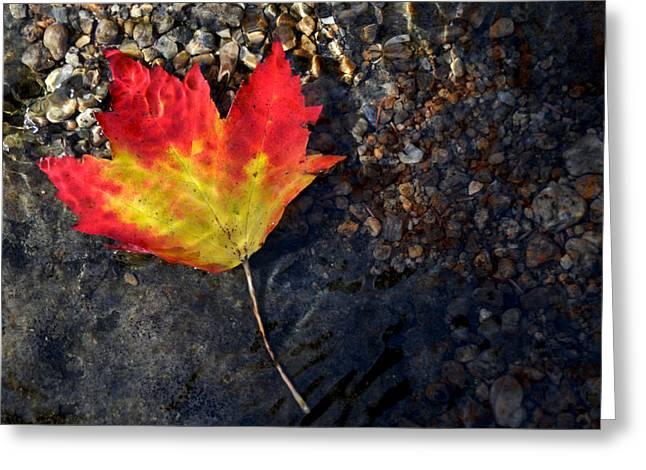 Fall Maple Leaf In Stream   Greeting Card