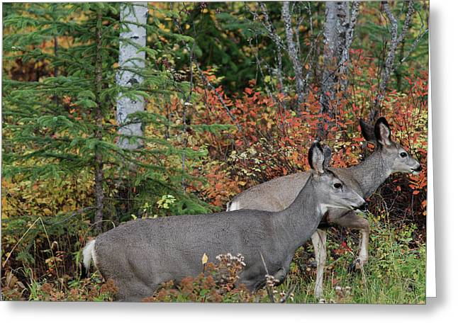 Fall Mule Deer Greeting Card