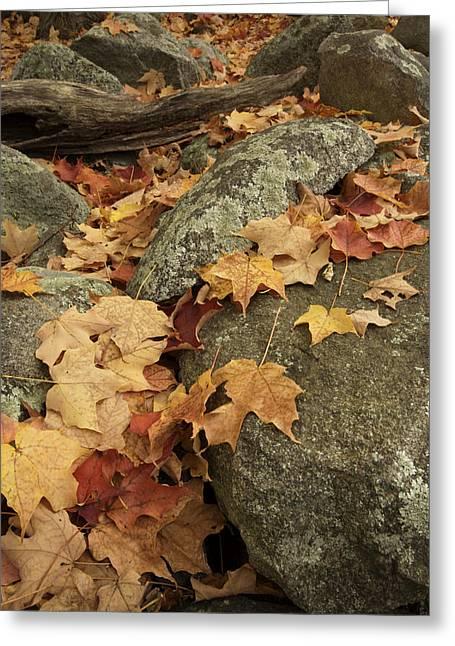 Fallen Autumn Sugar Maple Leaves Greeting Card