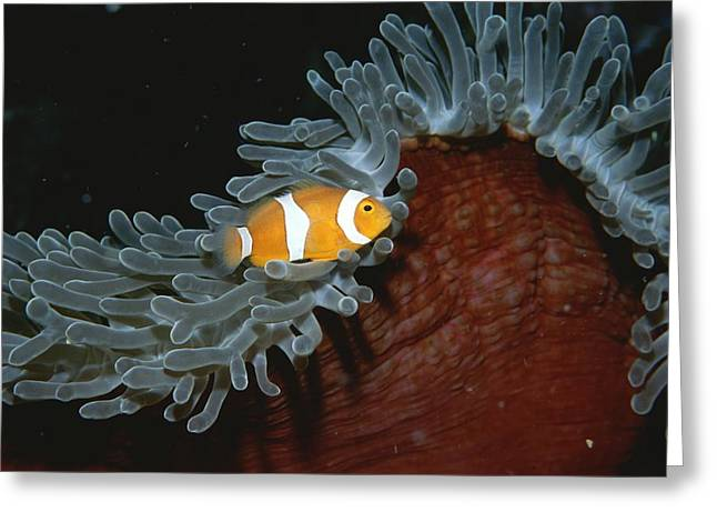 False Clown Anemonefish Greeting Card by Wolcott Henry