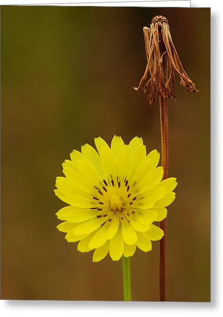 False Dandelion Flower With Wilted Fruit Greeting Card