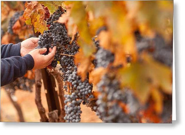 Farmer Inspecting His Ripe Wine Grapes Greeting Card by Andy Dean