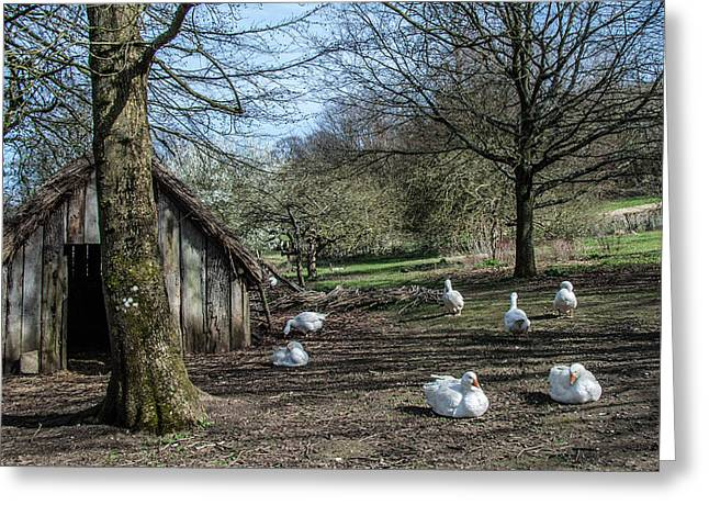 Farmyard Geese Greeting Card by Dawn OConnor