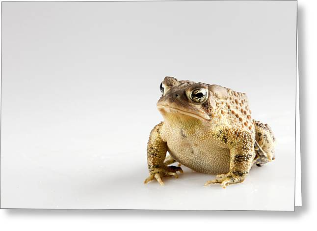 Fat Toad Greeting Card